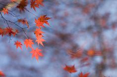 341/365: 2013-12-07: Red Maple Leaves