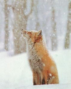 An orange fox sitting in the snow looking up to the sky. It's beautiful