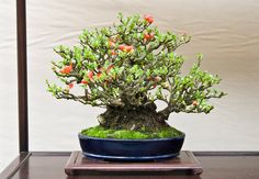 Shohin Bonsai tree blossoming by Otomodachi, via Flickr