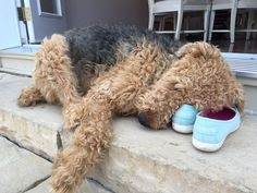 From Airedale Tumblr; sweetest sleeping dale