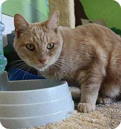 Westampton, NJ - Domestic Shorthair. Meet The Snuggler 33879112, a cat for adoption. http://www.adoptapet.com/pet/17044663-westampton-new-jersey-cat