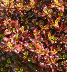 Mirror plant (Coprosma 'Tequila Sunrise') Glossy, jewel-like foliage blends lots of yummy colors on this amazing tender evergreen shrub. Garden Shrubs, Shade Garden, Garden Plants, Greenhouse Plants, Hosta Gardens, Backyard Plants, Tequila Sunrise, Colorful Plants, Colorful Garden
