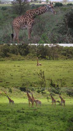 #Giraffes at #Arusha National Park in #Arusha, #Tanzania #Africa