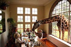 Breakfast with giraffes at Giraffe Manor.