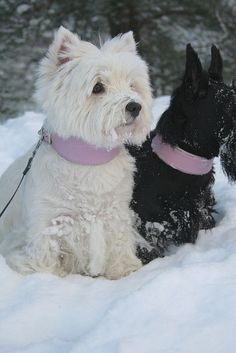 Westie with Scottie friend