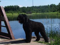 Black Russian Terriers are working dogs, formerly used by the former Soviet Union military. Their po... - Wikimedia