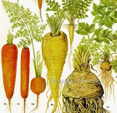 Carrot Parsnip Celeriac Chart Root Vegetable Food Botanical Lithograph Illustration For Your Vintage Kitchen 175