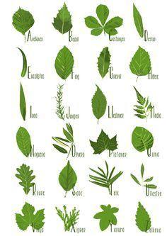 Herbs Clipart Botanical Name 1 236 X 333 Dumielauxepices Net