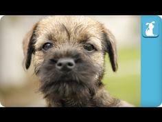 Border Terrier Puppies Running Around - Puppy Love - YouTube
