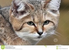 Portrait Of A Sand Cat (Felis Margarita) Stock Image - Image of face, whiskers: 28033021 Small Wild Cats, Big Cats, Cats And Kittens, Ocelot, Sand Cat, Endangered Species, Mammals, Animaux