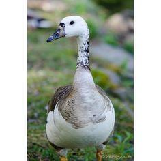 Hybrid goose. Wonder how many miles it gets on a charge #outdoors #nature #wilderness #goose #bird #beautiful #nikon #canada #ourheavenplanet #earthcapture #earthfocus #Ultimate_Wildlife #wonderlustoutdoors #instapic