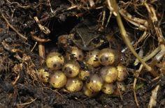 Esta ranita, que apenas alcanza los 3 cm, muestra unas manchas amarillas o rojas que no se encuentran en otras especies del mismo género. Además de por estas manchas P. teqta se diferencia genéticamente y porque los machos emiten una llamada compuesta de pulsos, en lugar de un silbido puro, que es la norma en la mayoría de las especies de Psychrophrynella.   Fuente: http://www.ecoticias.com/naturaleza/99282/Descubren-rana-andina-peligro-extincion