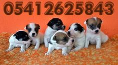 jack russell terrier yavruları