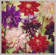 Aquilegia vulgaris 'Clementine' mix (columbine) Spectacular spurless, double flowering columbine., flowers open on tall stems over compact foliage in late spring through early summer. Pink, purple, cream, almost black, and deep red. Excellent cut flowers!