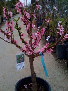 Peach Crimson Bonfire 174 A Dwarf Peach Tree With Dark