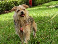 Bella-Donna is an adoptable Yorkshire Terrier Yorkie searching for a forever family near Tampa, FL. Use Petfinder to find adoptable pets in your area.