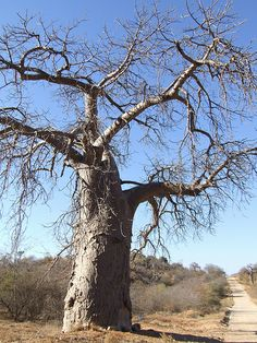 Baobab tree with legend of being stuck in the ground upside down. All you see above ground appears to be roots. West Africa, South Africa, Amazing Places, Beautiful Places, Tree Information, Weird Trees, Baobab Tree, Tree Roots, Beautiful Forest