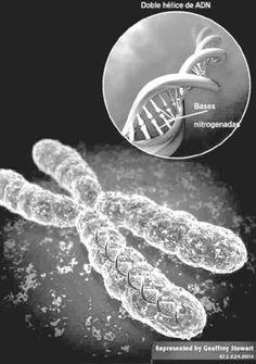 Darwin no conocía la genética. El mutacionismo vendría después de su teoría de la evolución para completarla (siglo XX). Él únicamente hablaba de variaciones favorables o desfavorables. Gonzalo Y Miguel 1ºBach C