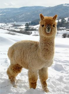 Alpaca | ... alpaca for everyone no matter what their preference. This is both a