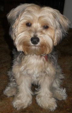 Belle look thats not scruffy. But I found ouy they call this dog a yorkypoo