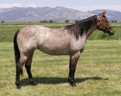 Bay Roan (bay + roan gene). Always a mixture of white and base coat hair throughout body except legs, mane, tail, and face. Whether they have 1 or 2 roan genes does not matter, they will be the same, unlike the cream gene.