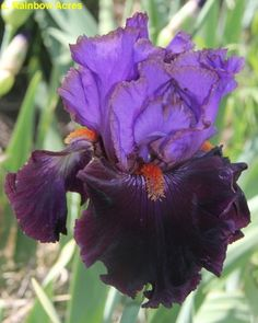TB Iris Dark Icon - Kerr 14 Photo by Rainbow Acres