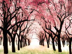 Cherry Blossom Tree wall Art