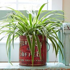Spider Plant and cool container