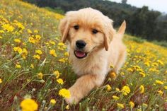 Golden puppy walking through a field of golden flowers :-)
