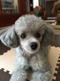 """Learn even more details on """"poodle puppies"""". Visit our web site. Puppy Obedience Training, Basic Dog Training, Training Your Puppy, Training Dogs, Poodle Haircut, Positive Dog Training, Easiest Dogs To Train, Dog Training Techniques, Dog Behavior"""