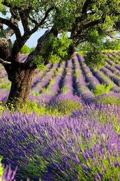 Lavender field (Provence, France)