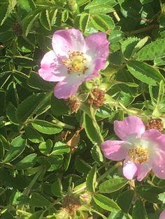 Rosal silvestre en el Anillo Verde