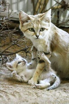 Wild Sand Cat Mother and Child