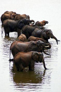 Elephants bathing in the Chobe River, Botswana, Africa   ©Mark Paulson
