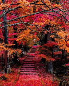 It looks like is bleeding 🍁 Which image of this carrousel is your favourite? Photos by Image Nature, All Nature, Unique Trees, Colorful Trees, Beautiful Nature Wallpaper, Beautiful Landscapes, Fall Pictures, Nature Pictures, Wonderful Places