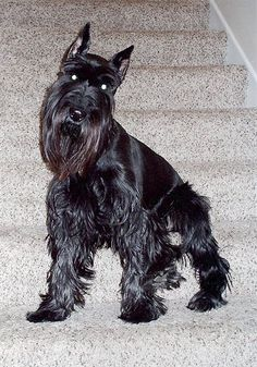 Spike, the Standard Schnauzer at 2 years old still on his lookout post Schnauzers, Mini Schnauzer Puppies, Standard Schnauzer, Miniature Schnauzer, Gsp Puppies, Baby Puppies, Best Pictures Ever, Dog Pictures, I Love Dogs
