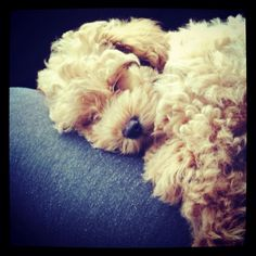 Sleeping puppy, cuddly puppy, Bichpoo, Poochon, Bichon, Poodle, Puppy, Dog,