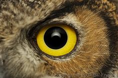 Close up of one intense Great Horned Owl eye. Saw Whet Owl, Eye Images, Eye Close Up, Owl Eyes, Great Horned Owl, First Art, Eye Art, Wild Birds, Beautiful Eyes