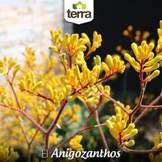 """El nombre #Anigozanthos en griego significa """"extraña flor"""" y es conocida en Australia (de donde proviene) como Pata de canguro, por la forma de sus flores. Es muy hermosa y decorativa. #MantenimientoLotes #MantenimientoJardines"""