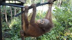 Budi climbs high in baby school | International Animal Rescue