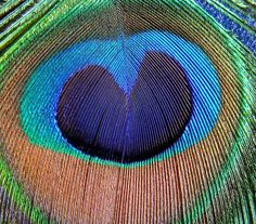 Natural heart in peacock feather  www.spellingitout.com