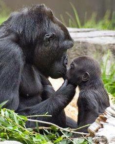 Momma n baby gorilla Amor entre gorilas. Primates, Mammals, Animals And Pets, Baby Animals, Funny Animals, Cute Animals, Strange Animals, Animals Kissing, Wild Animals