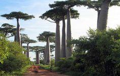 Baobabs, son caducifolios o de hoja caduca. En verano tienen un hermoso follaje para perderlo en el resto del año, adquiriendo un particular aspecto.
