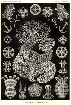 Phyllophorus urna; Sporadipus botellus; Synapta digitata; Stichopus murrayi; Myriotrochus rinkii; Caudina coriacea; Paelopatides aspera; Elpidia rigida; Synapta aculeata; Synapta glabra; Colochirus inornatus; Stichopus moebii; Chirodota venusta; Cucumaria crucifera; Thelenota atra; Arbacia pustulosa
