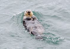 Sea otter pushes backwards in the water - December 9, 2014