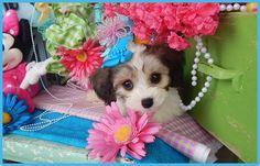 www.cavachonsbydesign.com Cavachon puppies for sale, Cavachon, Cavachons, Cavachon dog, Cavachon pups, Cavachon pup, Cavachons dogs for sale, Cavachon puppies, Cavachons for sale, Cavachon breeder, Cavachon breeders, Bichon, Cavachon Puppies, Dogs For Sale, Puppy Love, Cute, Animals, Design, Animales, Animaux, Kawaii