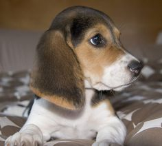 baby beagle=Travis wants one of these sooo bad. :)