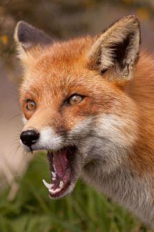 "A Male 'Reynard' Fox:  ""Wow!  That Vixen is Some Foxy Female!"""