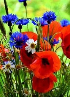Close-up of same wildflowers, I think poppies and cornflowers combine beautifully. Blue Flowers, Wild Flowers, Beautiful Flowers, Flowers Nature, Beautiful Nature Spring, Red Poppies, Spring Flowers, Beautiful Landscapes, Flower Power