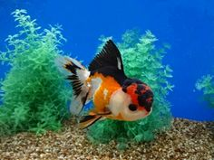 Tri-color Oranda